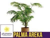 Palma AREKA (Areca) Roślina domowa. Sadzonka P21 - XL