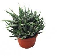 Howartia CONCOLOR (Haworthia fasciata) Roślina domowa. Sadzonka P9 - S