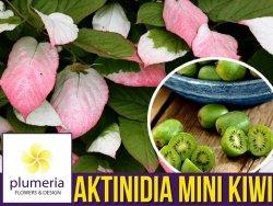 Mini Kiwi DR SZYMANOWSKI ⚥ (Aktinidia pstrolistna) 3-letnia Sadzonka C2