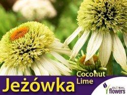 Jeżówka COCONUT LIME (Echinacea) Sadzonka C1