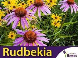 Rudbekia Purpurowa (Rudbeckia purpurea)