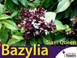 Bazylia właściwa tajska Siam Queen (Ocimum basilicum) 1g LUX