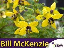 Powojnik botaniczny BILL McKENZIE (Clematis) Sadzonka C1