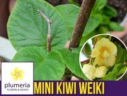 Mini Kiwi WEIKI ♂ zapylacz (Aktinidia ostrolistna) Sadzonka C1