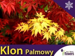 Klon Palmowy 'Orange Dream' (Acer palmatum) Sadzonka C3