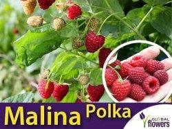 Malina właściwa POLKA (Rubus idaeus) doniczkowana Sadzonka C1