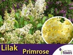 Lilak Pospolity PRIMROSE (Syringa vulgaris ) Sadzonka C3