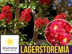 Lagerstroemia RED IMPERATOR kwitnie 120 dni (Lagerstroemia indica) Sadzonka C1