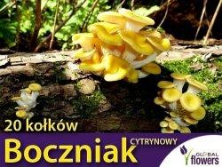 Boczniak cytrynowy grzybnia na kołkach 20 kołków - działanie lecznicze