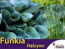 Funkia HALCYON (Hosta) Sadzonka C2