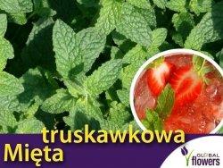 Mięta Truskawkowa (Mentha species) Sadzonka C1