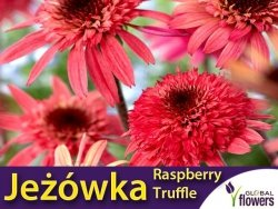 Jeżówka RASPBERRY TRUFFLE (Echinacea) Sadzonka C1