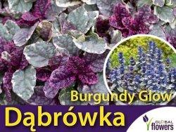 Dąbrówka rozłogowa 'Burgundy Glow' (Ajuga reptans) Sadzonka