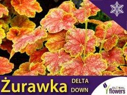Żurawka 'Delta Down' (Heuchera) Sadzonka
