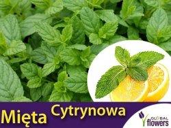 Mięta CYTRYNOWA Hillary's Sweet Lemon (Mentha) Sadzonka C1