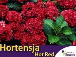 Hortensja ogrodowa HOT RED bordowa (Hydrangea macrophylla) Sadzonka C2