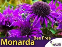 Pysznogłówka  'Bee Free' (Monarda) Sadzonka