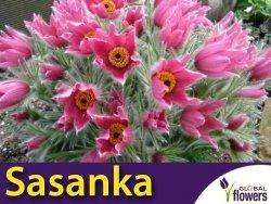 Sasanka zwyczajna Jasnoróżowa (Pulsatilla vulgaris) CEBULKA 1 szt.