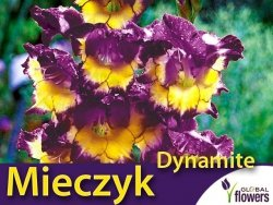 Mieczyk wielokwiatowy 'Dynamite' (Gladiolus) Cebulki 5 szt.