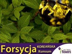 Forsycja zielona 'Kumson' (Forsythia viridissima) Sadzonka