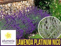 Lawenda PLATINUM NICO ® (Lavandula) OGROMNA SADZONKA XL- C5