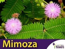 Mimoza Tańczący Kwiat (Mimosa) 0,2g