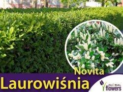 Laurowiśnia 'Novita' (Prunus laurocerasus) Sadzonka 40/50 cm