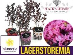 Lagerstroemia BLACK SOLITAIRE® Shell Pink (Lagerstroemia indica) Sadzonka C2