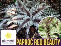Paproć Wietlica RED BEAUTY (Athyrium nipponicum) Sadzonka