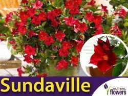 Sundaville pnącze CLASSIC RED Sadzonka w wiszącym koszu