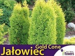 Jałowiec pospolity 'Gold Cone' (Juniperus communis) Sadzonka