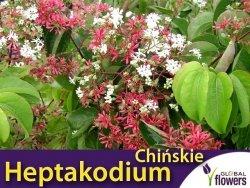 Heptakodium chińskie (Heptacodium miconioides) Sadzonka Unikat !