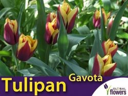 Tulipan Triumph 'Gavota' (Tulipa) CEBULKI 5 szt