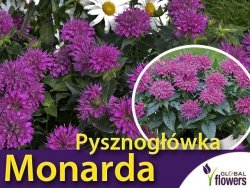 Pysznogłówka karłowa 'Pardon My Purple' (Monarda) Sadzonka