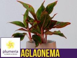 Aglaonema CRETE (Aglaonema crete) Roślina domowa. Sadzonka P12 - M