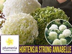 Hortensja drzewiasta 'Strong Annabelle' (Hydrangea arborescens) Sadzonka XL- C5