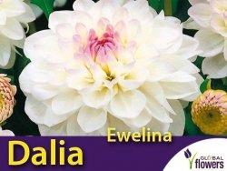Dalia kulista 'Ewelina' (Dahlia x cultorum) Kłącza