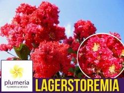 Lagerstroemia CZERWONA kwitnie 120 dni (Lagerstroemia indica) 4 letnia Sadzonka XL-C4,5 OUTLET