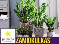 ZAMIOKULKAS (Zamioculcas zamiifolia) Roślina domowa. Sadzonka P12 - M