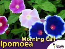 Wilec Purpurowy MORNING CALL (Ipomoea purpurea ) nasiona 1g