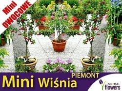 DRZEWKO MINI OWOCOWE Mini Wiśnia 'Piemont' (Prunus) Sadzonka C3,5