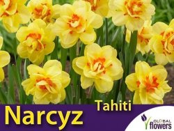 Narcyz pełny 'Tahiti' (Narcissus) CEBULKI 4 szt.