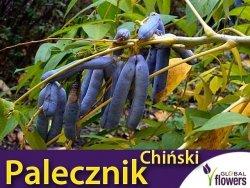 Palecznik Chiński (Decaisnea fargesii) Sadzonka