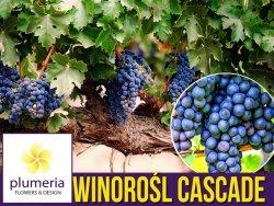 Winorośl CASCADE odmiana przerobowa (Vitis) Sadzonka C2