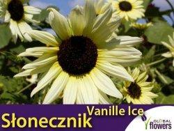 Słonecznik ogórkolistny 'Vanille Ice' (Helianthus debilis) 0,5g