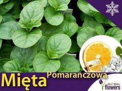 Mięta Pomarańczowa (Mentha x piperita) Sadzonka