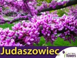 Judaszowiec Kanadyjski (Cercis canadensis) 1g