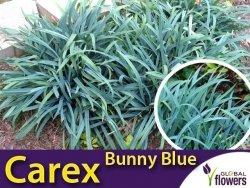 Turzyca BUNNY BLUE (Carex laxiculmis) Sadzonka