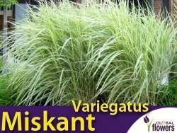 Miskant chiński 'Variegatus' (Miscanthus sinensis) Sadzonka