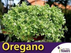 Oregano VARIEGATA (Origanum vulgare) Sadzonka